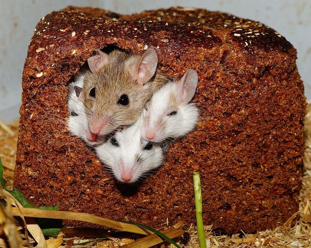 Maus Als Haustier Die Maus Als Haustier