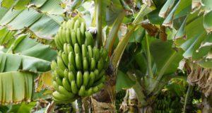 Banana Leaf Kratzbaum