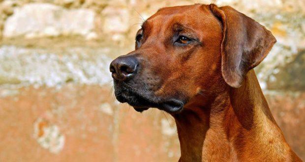 Biotin für Hunde – Was ist das und wofür braucht man das?