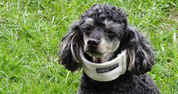 Halskrause oder Halskragen für den Hund - was ist zu beachten?