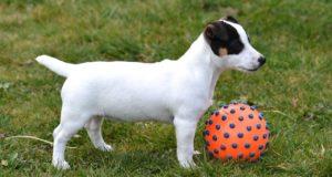 Sind Hunde Ballwurfmaschinen gesund für Welpen ?