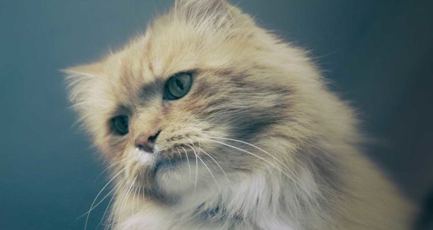 Die Katze hat Schmerzen – Schmerzen erkennen und behandeln