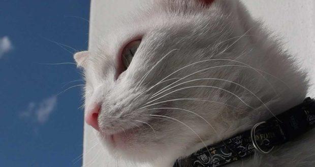 Die Vor- und Nachteile für den Gebrauch eines Katzenhalsbandes