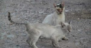 Gefährliche Katzenkrankheiten - von Tollwut bis Katzenschnupfen
