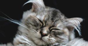Ohrmilben bei Katzen – ein häufiges Problem